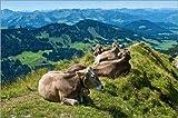 Poster 90 x 60 cm: Rinder bei Oberstaufen im Allgäu von