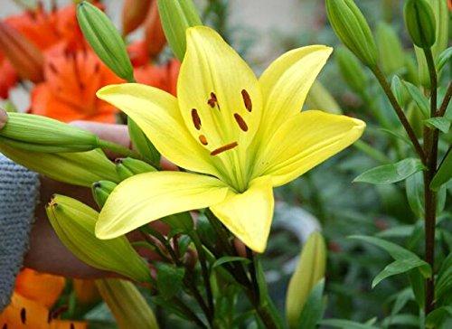 100 PCS couleurs Lily Graines, lys parfum bon marché Graines, Couleur Rare Flower Garden plantes - Mixing différentes variétés 6