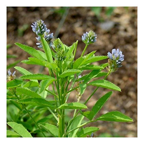 Blauer Steinklee - Schabzieger Klee - Bienenweide - Gewürz- + Arzneipflanze - 300 Samen