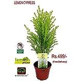 "Vamsha Nature Care Live Lemon Scented Goldcrest Cypress Tree - Indoors/Out/Fairygarden - 2.5"" Pot - Mosquito Repellent Plant"