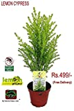 #8: Vamsha Nature Care Live Lemon Scented Goldcrest Cypress Tree - Indoors/Out/Fairygarden - 2.5