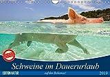 Schweine im Dauerurlaub auf den Bahamas! (Wandkalender 2019 DIN A4 quer): Schwimmende Schweine auf den Exumas auf der Insel 'Big Major Cay! (Monatskalender, 14 Seiten ) (CALVENDO Tiere)