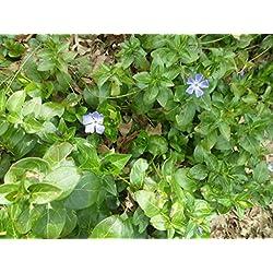 PLAT FIRM GERMINATIONSAMEN: 10 blühende Myrte immergrüne Bodendeckerpflanzen kriechend * Niedriger Versand * Lila