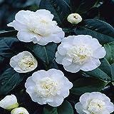 Camellia Japonica blanc - 1 arbrisseau