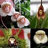 WuWxiuzhzhuo 20Pcs Monkey Face Orchidee Blume Samen, Bonsai Home Garten-Pflanze Samen 1