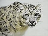 Artland Qualitätsbilder I Wandbilder Selbstklebende Wandfolie 40 x 30 cm Tiere Wildtiere Raubkatze Foto Schwarz Weiß C0UD Schneeleopard