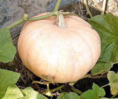 Bobby-Seeds Kürbissamen Jaune Gros de Paris - Gelber Zentner Portion