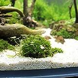 YMCHE Marimo-Moos-Kugeln , Marimo-Moos-Kugeln Einzigartige grüne kugelförmige Pflanzenvielfalt Pflegeleicht und Wachstum begrenzt