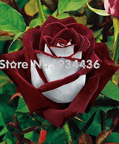 Graines rares de semences Rose pour votre amant Seed Rainbow Rose Flower 20 + PCS + beau cadeau