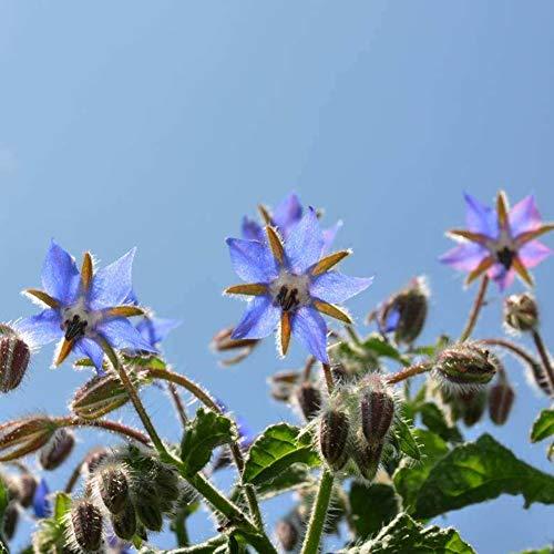 Wanyudz 500 Teile/Paket Borretsch Samen Biologisch Abbaubare Töpfe Pflanze Gerade für Gartendekoration -