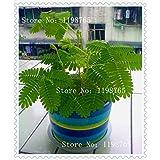 1 paquete de 100 semillas de césped Semillas tímido follaje Mimosa púdica Sensible
