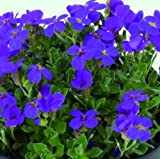 lichtnelke - Blaukissen HAMBURGER STADTPARK ( Aubrieta hybrida )