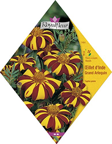 Royalfleur PFRV01464 Graines de Oeillet d'Inde Grand Arlequin
