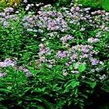 PLAT FIRM Germinación de las semillas: El jardinero sucio saponaria officinalis Cuota Rebote Soapwort Flores - 500 Ver