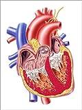 Posterlounge Acrylglasbild 30 x 40 cm: Anatomy of Human Heart, Cross Section. von Leonello Calvetti/Stocktrek Images - Wandbild, Acryl Glasbild, Druck auf Acryl Glas Bild