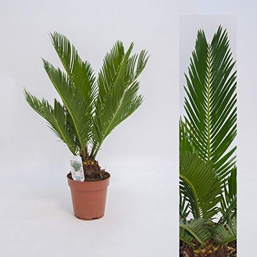 Cycas Revoluta 45cm +/- ,Palmfarn - Sagopalme, Topfgröße 12 cm