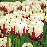 Einfache Späte Tulpe World Expression - 10 blumenzwiebeln