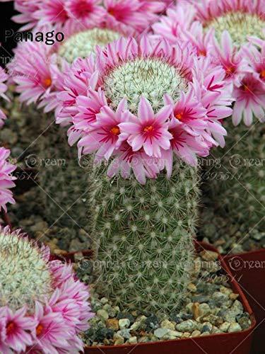 Fash lady 100 pz cactus piante succulente bonsai fiore perenne piante da interno o esterno in vaso per la casa giardino piantare: 1