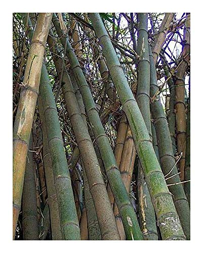 Bambusa arundinacea – Dorniger Riesenbambus – 100 Samen