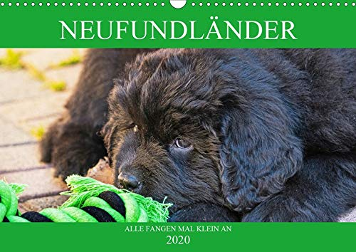 Neufundländer - Alle fangen mal klein an (Wandkalender 2020 DIN A3 quer): Lassen Sie sich von entzückenden Neufundländer-Welpen verzaubern (Monatskalender, 14 Seiten ) (CALVENDO Tiere)