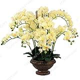 100 PC/bag Seltene Mini-Orchidee Phalaenopsis-Orchideen-Samen Indoor Miniatur-Bonsai Garden Blumensamen Orchideentopf Hausgarten Pflanze Klar