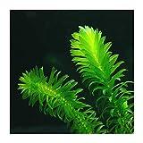 5x Elodea Densa, pianta ossigenante per stagno vivo, anche pianta acquatica da acquario