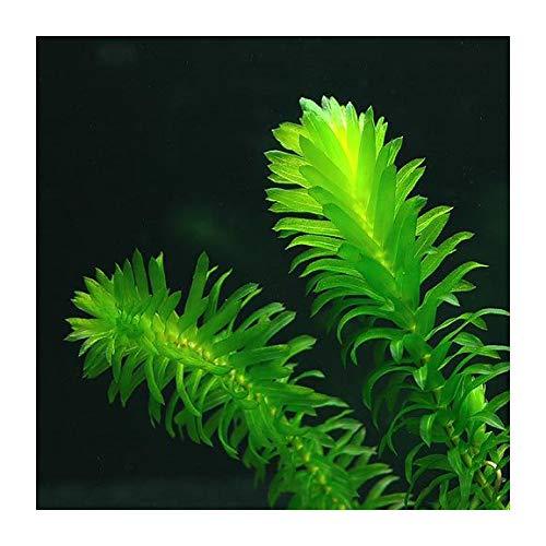 Erba ossigenante per laghetto anche per piante acquatiche acquario confezione da 20