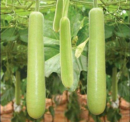 Agro Green Biolife Organic Vegetable Seeds - Bottle Gourd - Pack Of 5 For Kitchen / Terrace / Home Garden