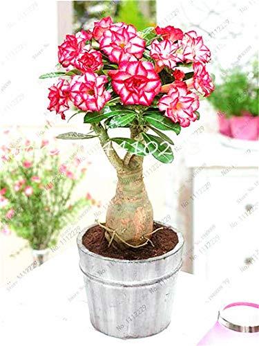 Pinkdose 100% True Adenium Obesum Bonsai esotici fiori rosa del deserto Balcone Desert-Rose Bonsai multicolori petali di piante grasse 5 Pz: c