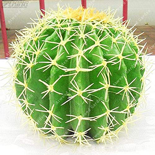 Shoopy Star 50 Goji (Lycium barbarum) Graines, Goji/goji exotique Accueil Plante