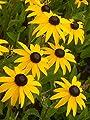 """Rudbeckia fulgida """"Goldsturm"""" - Sonnenhut, 3 Pflanzen von Dachstauden auf Du und dein Garten"""