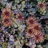 lichtnelke - Stachelnüsschen (Acaena microphylla)