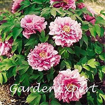 20pcs pivoine rose Graines Arbre pivoine Graines Pivoine « Yachiyotsubaki » Graines de fleurs Bonsai plante bricolage jardin