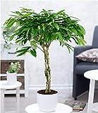 BALDUR-Garten Zimmerpflanze Ficus Amstel King mit geflochtenem Stamm, 1 Pflanze Langblättrige Feige