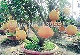 Neuankömmling!!! 20 / bag Hardy Mini Pummello Pomelo Pomello Baum Dwarf kao Pan Traubenfrucht! Seltene Bonsai Fruchtsamen für Hausgarten