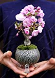 10 Stück Seltene Mini japanischen Sakura Samen Indoor-Kirschblüten-Bonsai Blume Sakura Baum Diy Samen der Staudengarten-Blumen