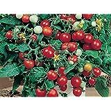 Rote Minitomate für die Fensterbank - Red Robin - 20 Samen