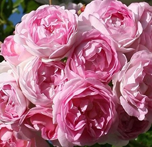 Rosarot Pflanzenversand ML167