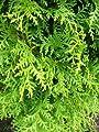 Brabant Lebensbaum Thuja occidentalis Brabant 100 - 125 cm hoch im 5 Liter Pflanzcontainer von Plantenwelt Wiesmoor bei Du und dein Garten