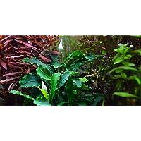 Aqua Plants EXCLUSIVE PRODUCT - Four Plants of Rare BUCEPHALANDRA - Plantas de acuario