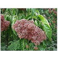 Aroma de la floración árbol árbol de Abeja Evodia hupehensis Seedling, Sweetly aroma flores, vida silvestre alimentos, Gran como un pequeño árbol o Bonsai