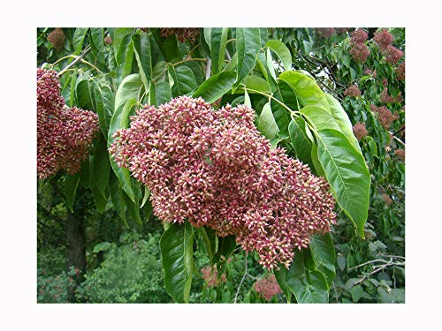 Galleria fotografica profumata Flowering Tree Bee Evodia Hupehensis Seedling, Sweetly fiori profumati, Wildlife food, ideale come piccolo albero o bonsai