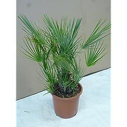 Chamarops humilis 100 cm - Zwergpalme // winterharte Palme -12°C