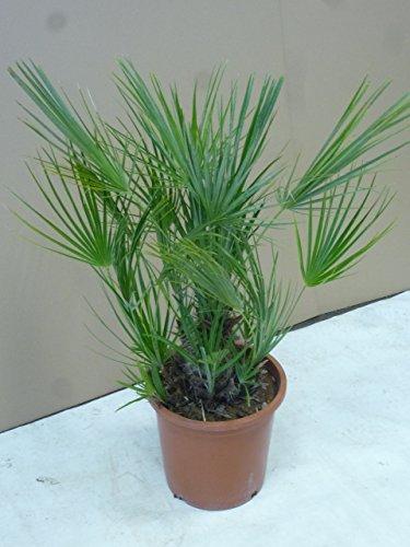 Chamarops humilis 100 cm - Zwergpalme//winterharte Palme -12°C