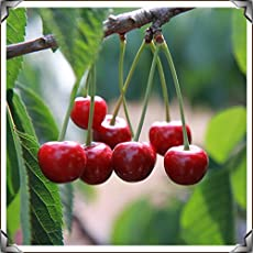 Attractive Cherry Fruit Tree Seeds - Sold By Variety House