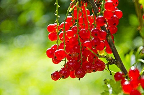 Rote Johannisbeere - Ribes rubrum - verschiedene Größen (60-80cm - 2Ltr.)