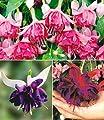 """BALDUR-Garten Riesen-Fuchsien-Raritäten Kollektion,6 Pflanzen Fuchsia """"Deep Purple"""", """"Voodoo"""", """"Bicentennial"""" von Baldur-Garten - Du und dein Garten"""