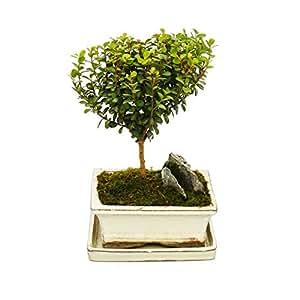 Bonsai - Cape Myrtle - African Boxwood - Myrsine africana - approx. 3-4 years - Ball-shaped