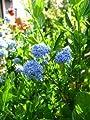immergrüne Säckelblume Ceanothus impressus Victoria 30 - 40 cm hoch im 3 Liter Pflanzcontainer von Plantenwelt Wiesmoor auf Du und dein Garten