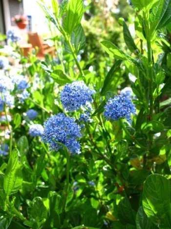 immergrüne Säckelblume Ceanothus impressus Victoria 30 - 40 cm hoch im 3 Liter Pflanzcontainer